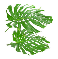 Two tropical leaves