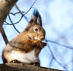 Red squirrel on branch