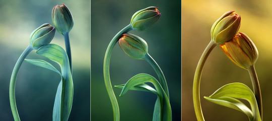 Leinwandbilder - Tulipany