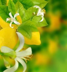 Fototapete - ripe lemon