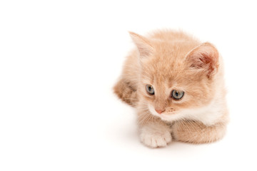 Creamy kitten lying on a white background