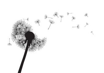 black dandelion loosing his integrity on wind