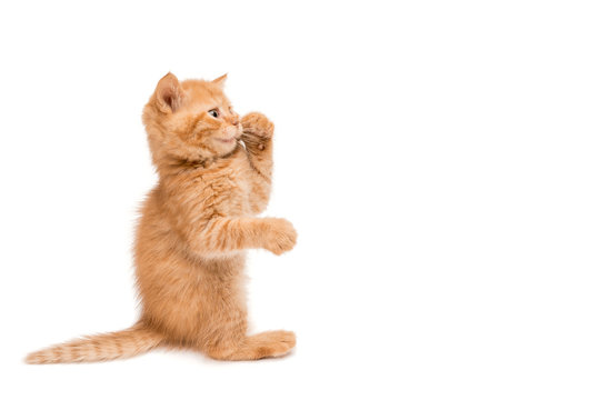 Red kitten standing playing