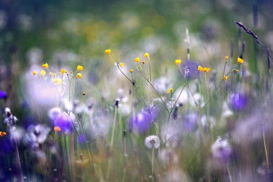 wildflowers, spring, summer, sunset field