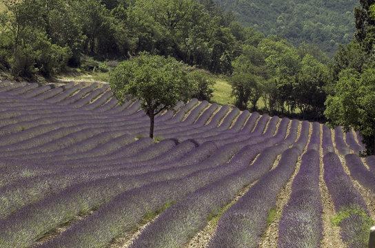 lavande, Lavendula x intermedia , Culture , provence, 26