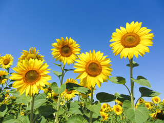 Sunflowers with clear blue sky