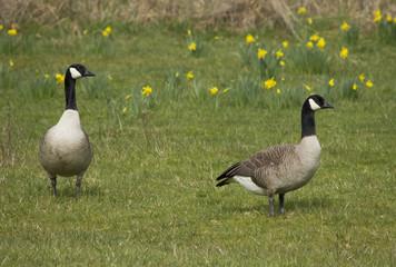 Pair of Canada Geese in flower Meadow