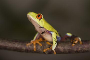 Frosch - Rotaugenlaubfrosch / Agalychnis callidryas