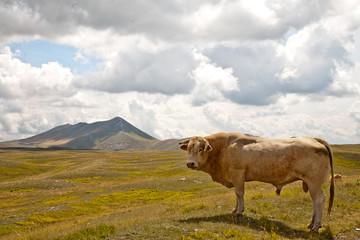 toro in libertà