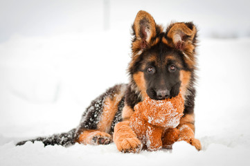 German shepherd puppy with soft toy in winter