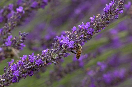 lavande, Lavendula x intermedia, abeille, Culture, provence, 26
