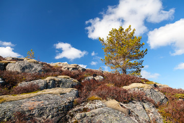Small pine tree grows on rocky mountain in Norway