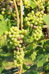 green grapes in vine