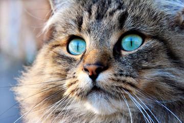 Norweger Katze mit türkisen Augen Fototapete
