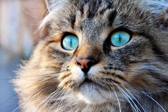 Norweger Katze mit türkisen Augen