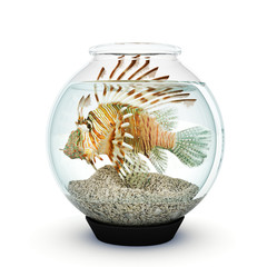 Lion fish to big for the fishbowl  Over crowding concept