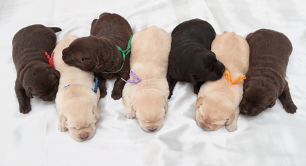 Fotobehang - seven labrador retriever puppies