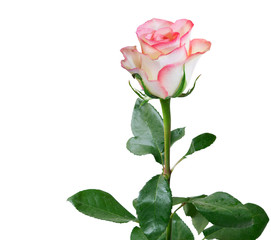rose flower isolated on white background
