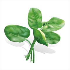 Spinach  isolated. Vector illustration.