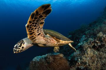 Hawksbill turtle,Komodo