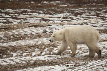 Wet Polar Bear Strolling on Frozen Snow-Laden Tire Tracks