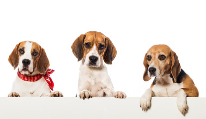 Drei Beagles