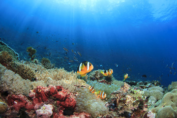 Aluminium Prints Under water Coral reef with anemones and clownfish