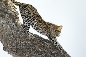 Leopard stretching in tree