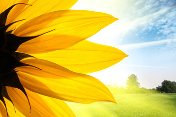 Wall Mural - Sunflower flower over summer field landscape