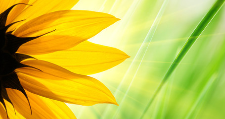 Wall Mural - Sunflower over green grass background