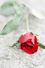 rose on stone background.
