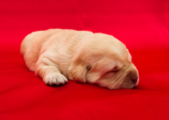 Fotobehang - labrador retriever puppy