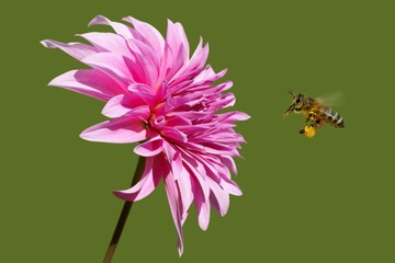 Bee (Apis) in flight and Dahlia Garden (Dahlia Cav.)
