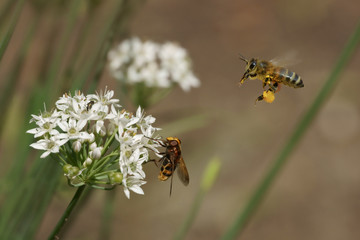 Bee, fly and flowers of garlic (Allium)