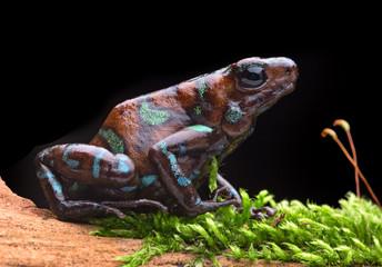 Dendrobates auratus Camouflage