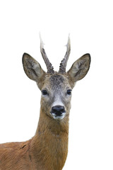 Roe deer buck portrait