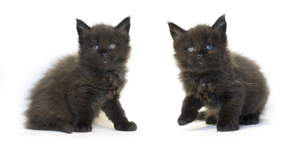 MAINE COON KITTENS black cat