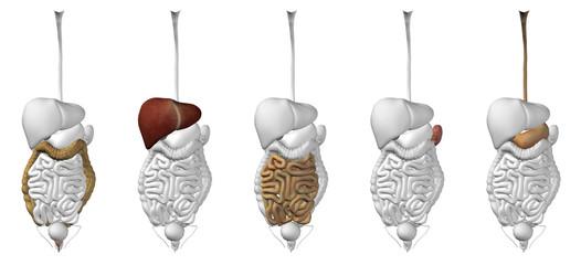 Human digestive sistem isolated