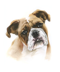 Boxer dog watercolor portrait