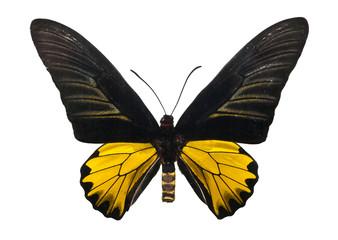 Butterfly Troides Magellanu