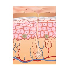 Human skin structure. 3d illustration of epidermis anatomy