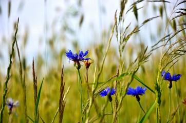 Cornflower in crop field