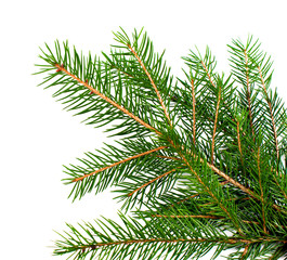 Fresh green Christmas tree branch on a white background