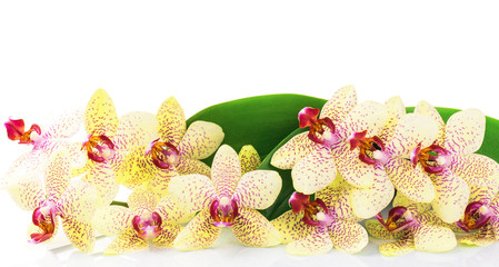 Orchid with green leaves