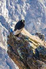 Condor at Colca canyon  sitting,Peru,South America.