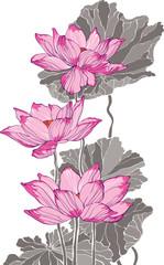 Three big pink vector lotus on white background