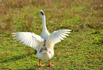 White goose with open wings standing in a meadow