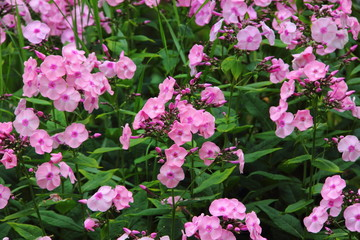 Pink phlox. Summer flower.