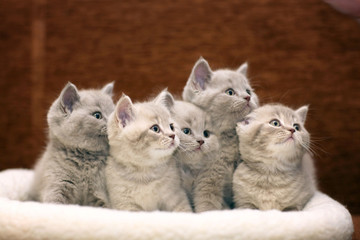 Group of cute gray British kittens