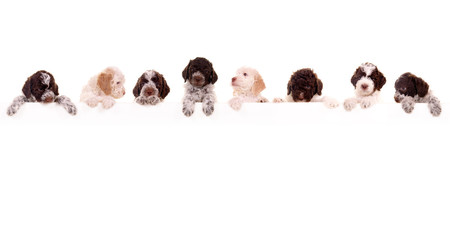 8 Lagotto Romagnolo Welpen – mit Banner Wall mural